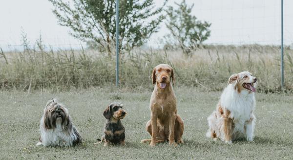 Vier Hunde am Übungsplatz des ÖRV Apetlon