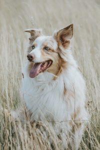 Weiß-brauner Hund in der Hundeschule Apetlon