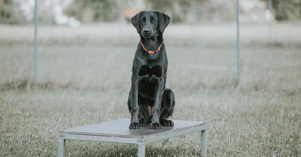 Schwarzer Hund sitzend am Übungsplatz des ÖRV Apetlon
