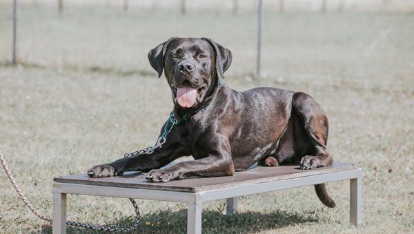 Schwarzer Hund am Übungsplatz des ÖRV Apetlon